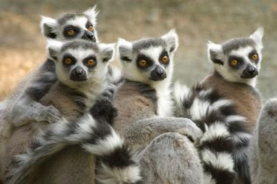 Observation d'un groupe de lémurien à Madagascar
