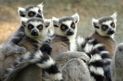 Lémuriens, primates endémiques de l'île de Madagascar