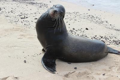 Un lion de mer aperçu aux abords de notre projet écovolontariat