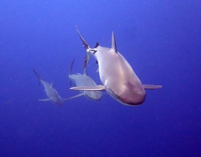 Des requins photographiés par nos volontaires