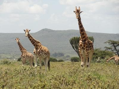 Des girafes de Rothschild, espèce en voie de disparition présente au sein de notre réserve