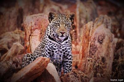 Un léopard aperçu dans la réserve naturelle au sein de laquelle nous travaillons