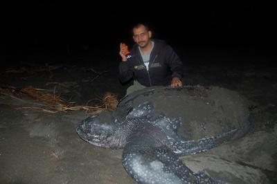 Bénévolat avec des tortues marines en Amérique Latine