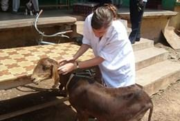 Mission humanitaire auprès d'animaux:médecine vétérinaire et soins animaliers : Ghana