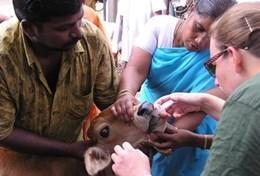 Missions de volontariat et stages en Inde : Médecine vétérinaire &   soins animaliers