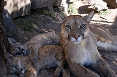 Femelle puma et ses petits