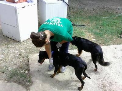 Une volontaire s'occupe de chiens lors de sa mission en soins animaliers au Belize