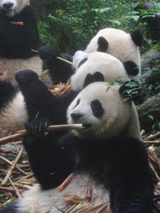Protection du panda géant de chine
