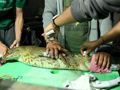 Volontaires en train de soigner un crocodile