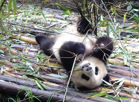 Un panda photographié sur le lieu de notre mission écovolontariat